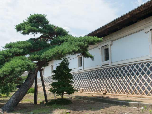 佐藤家の蔵の裏の松